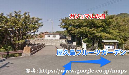 屋久島,フルーツガーデン,中間ガジュマル