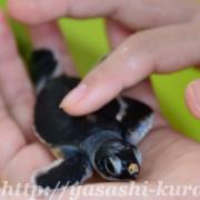 屋久島,ウミガメ,海ガメ,海がめの産卵,ウミガメの孵化,栗生,栗生海水浴場