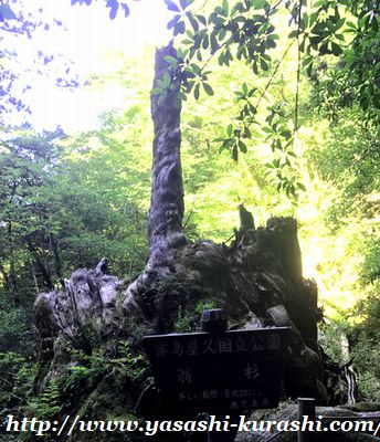 屋久島,世界遺産,縄文杉,縄文杉登山,雨,登山弁当,扇杉