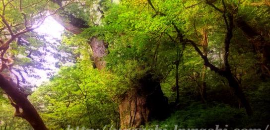 屋久島,世界遺産,縄文杉,縄文杉登山,雨,ウィルソン株,バイオトイレ