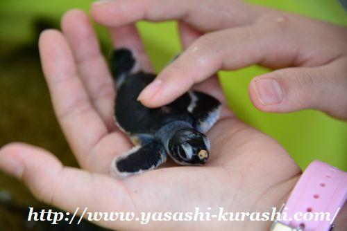 屋久島,てぃーだ,大川の滝,フルーツガーデン,栗生海水浴場,ウミガメ赤ちゃん,,産卵,孵化
