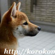 柴犬こま,淡路正菊荘,5ヶ月