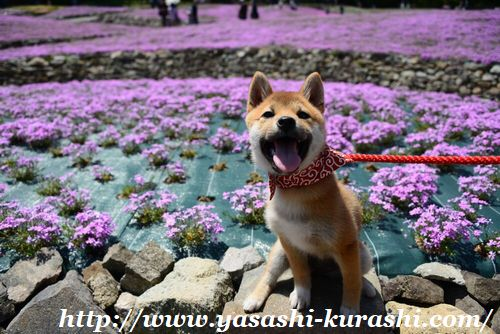 ペット同伴可,ワンちゃん連れOK,芝桜,花のじゅうたん,三田,花しょうぶ園,芝桜庭園