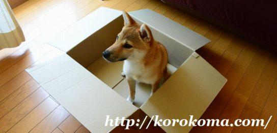 朝んぽ,朝さんぽ,柴犬こま,淡路正菊荘,寿々王号