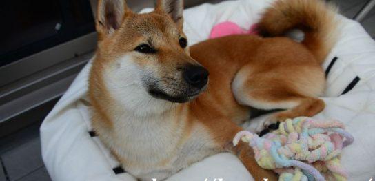 柴犬,こま,淡路正菊荘,寿々王号