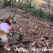 柴犬こま,淡路正菊荘,寿々王号,ハイキング