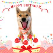 淡路正菊荘,寿々王号,こま,柴犬,誕生日,こま
